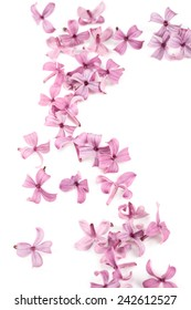 Fragrant lilac blossoms as a design element or border. Spring flowers on white background as design element.