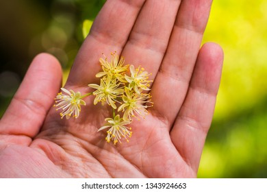 fragrant Linden blossom in the hands outdoors