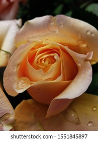 fragrant peach and yellow wet rosebuds in bloom