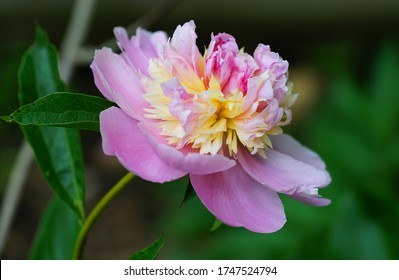 Fragrant pink and yellow peony sorbet flower in bloom