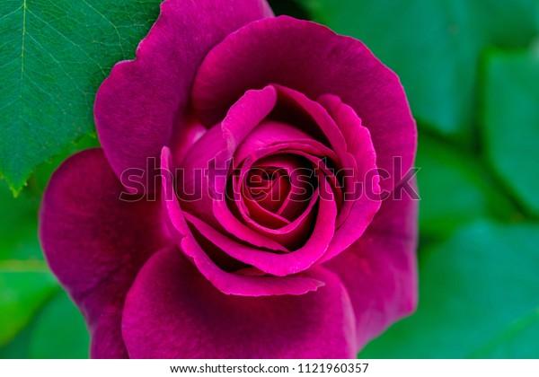Fragrant purple Hybrid Tea rose in garden. Red Rosa var. Grafin Diana, close up.