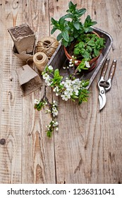 Fragrant spicy herb mint and melissa in pot in wooden basket at board with twig blooming plum top view spring gardening.