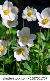 fragrant spring white anemone flowers