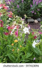 Fragrant tabak bloom in the garden