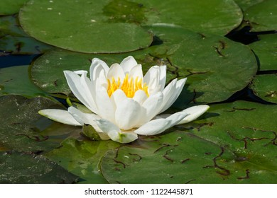 Fragrant Water Lily growing amongst a mat of lily pads.Don Valley Brickworks Park, Toronto, Ontario, Canada.