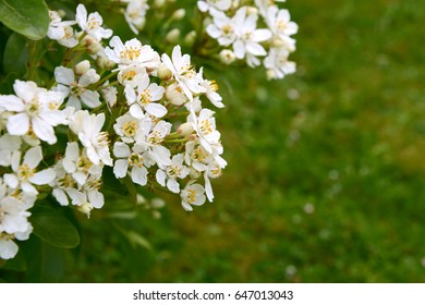 Fragrant white choisya flowers against green grass background - the shrub is also known as Mexican orange blossom or mock orange.