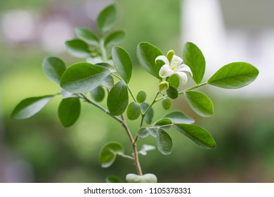 fragrant white flower. young tender plant of muraia. a small tree of the emperor.