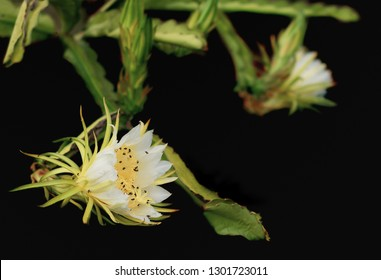 Fragrant white flowers of dragon fruit pollinated by Australian bees