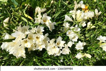 Fragrant White Fresia.