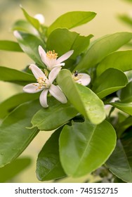 Fragrant white orange blossom flowers with luscious green foliage in Spring
