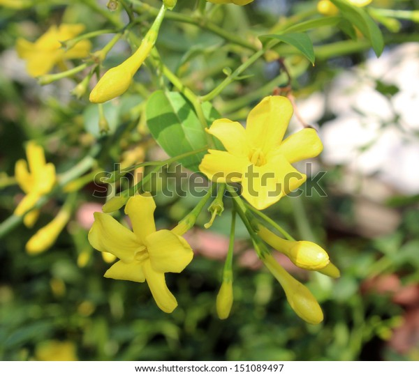 Fragrant yellow flowers of carolina jasmine burst into fragrant bloom in late winter and spring adding scented  beauty to the home garden.