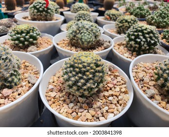 Frailea Mammifera is a succulent cactus, cylindrical, short, with golden spikes around the stem.