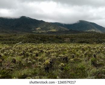 Frailejon plants in a paramo ecosystem in Colombia. High mountain neotropical biome with endangered vegetation and huge biodiversity.
