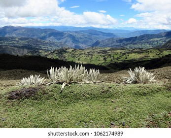 Frailejones (Espeletia) and beautiful mountain valley high up in Colombian Andes