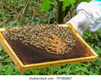 A frame of bees along with bees and sealed brood being held by the beekeeper