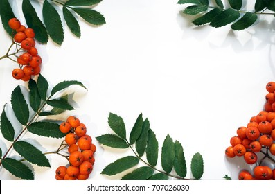 a frame of berries and leaves of mountain ash on a white background