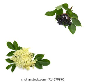 Frame of blossom and fruit black elderberry (Sambucus nigra) on a white background with space for text. Common names: elder, black elder, European elder and European black elderberry.