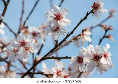 In the frame the blossoming almond tree branches, the background blurred. Almond flowers on blue sky. Horizontal. Daylight. Close.