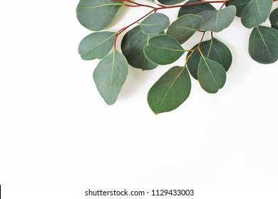 Frame, border made of green Eucalyptus populus leaves and branches on white background. Floral closeup composition. Feminine styled stock flat lay image, top view.