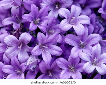 Frame filling close up of light purple bell flowers (Campanula).
