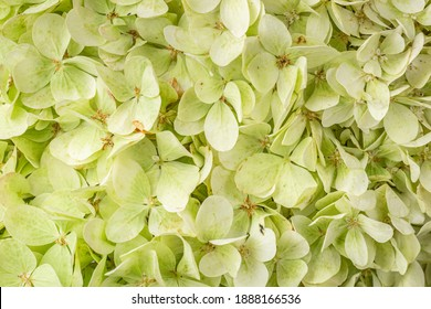Frame filling view of lime green hydrangea or hortensia flowers (hydrangia paniculata 'limelight')