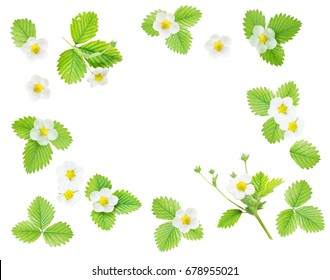 Frame with fresh white flowers and green leaves of strawberry isolated on white background; top view, flat lay, overhead view