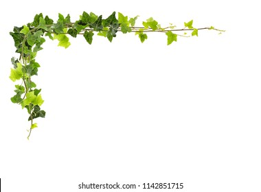 Frame of ivy -Fresh ivy leaves isolated on white background, clipping path included