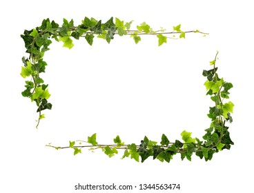 Frame of ivy -Fresh ivy leaves on white background