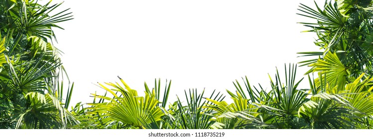 frame from palm leaves, border of isolated lush green palm leaves on white background with advertising space