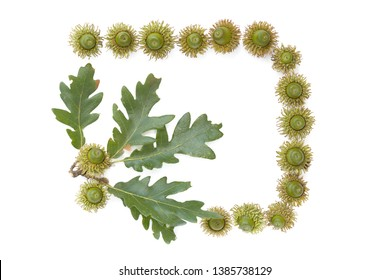 frame Turkey oak (Quercus cerris) fruits and leaves isolated on a white background.