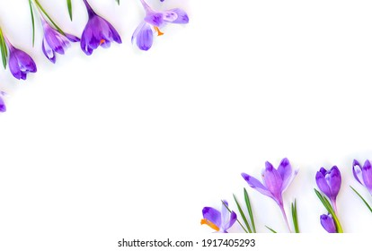 Frame of violet crocuses on a white background with space for text. Spring flowers. Top view, flat lay