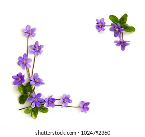 Frame of violet flowers hepatica (liverleaf or liverwort) on a white background with space for text. Top view, flat lay.