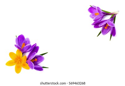 Frame of violet and yellow crocuses (Crocus vernus) on a white background with space for text. Top view, flat lay