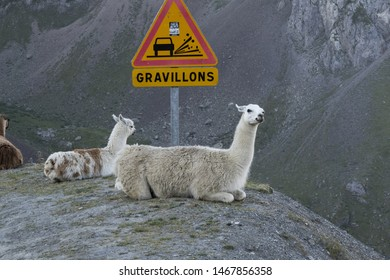 France, Les Pyrenees, 2018-08. A herd of Llamas on the famous tour de France site, Col du Tourmalet , escaped from a camping site where they were used as lawnmowers in 2015