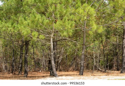 France, the maritime pine forest of Lacanau Ocean In Gironde
