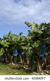 France, Martinique, banana plantation