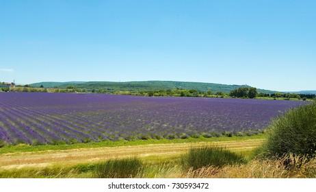 France, Provence, lavender fields.