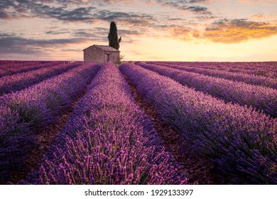 France, Provence, Valensole. A little house into lavender fields.