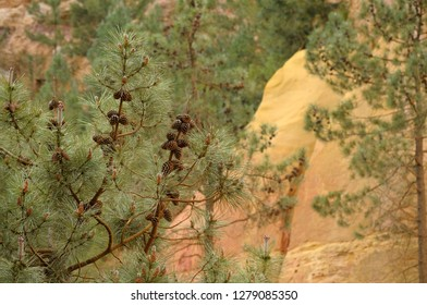 France, Provence-Alpes-Cote d'Azur, Vaucluse, Roussillon. Pine tree with cones at the ochre mine