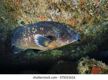 France, Southern Corsica, Lavezzi Marine Park, Mediterranean Sea, mediterranean grouper (Epinephalus guaza) - FILM SCAN