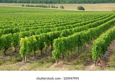 France, the vineyard of Sauternais in summer