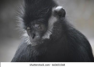 Francois Langur Monkey