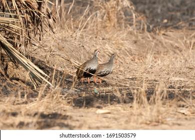 Francolin Red necked spurfowl Gorongosa