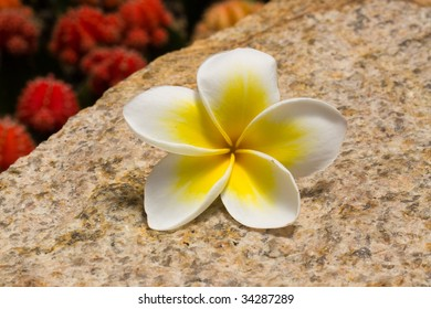 A frangiapani flower with yellow and white petals on a rock