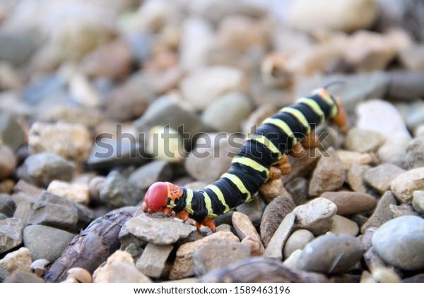 frangipani-caterpillar-worm-crawling-on-