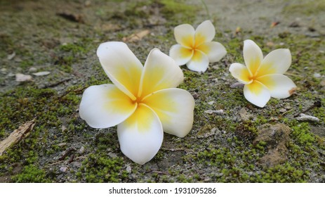Frangipani Flower for background and wallpaper
