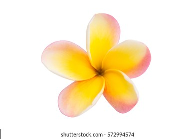 frangipani flower isolated white background