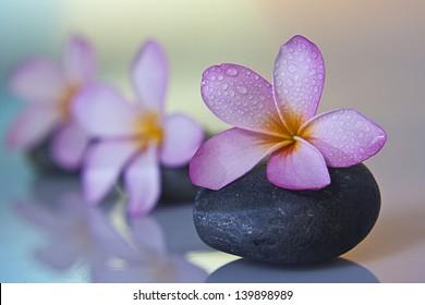 frangipani flower on black stone