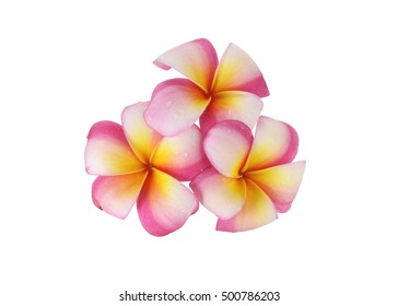 Frangipani Flower or Plumeria Isolated on White Background