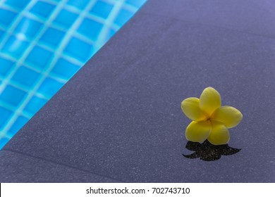frangipani flower resting by the pool